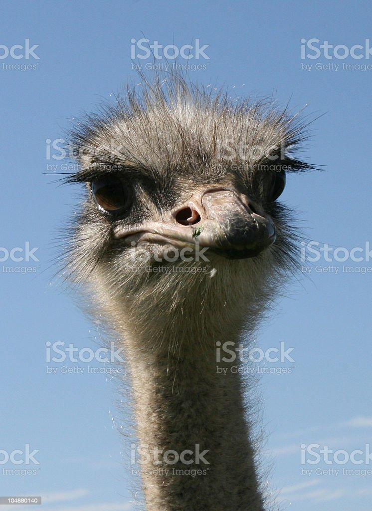 Ostrich face detail royalty-free stock photo