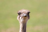 Ostrich (Struthio camelus) face