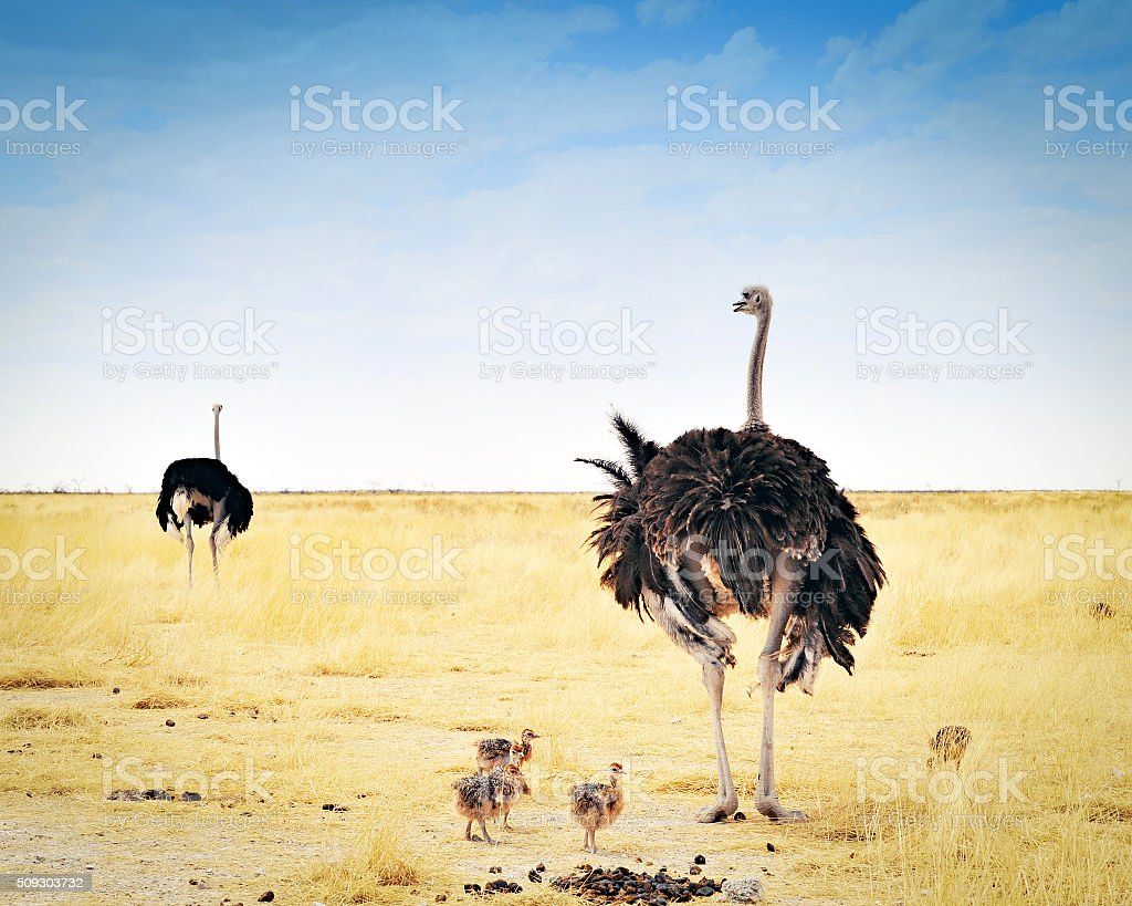 Two ostriches with their young in the dry savannah of Etosha National...