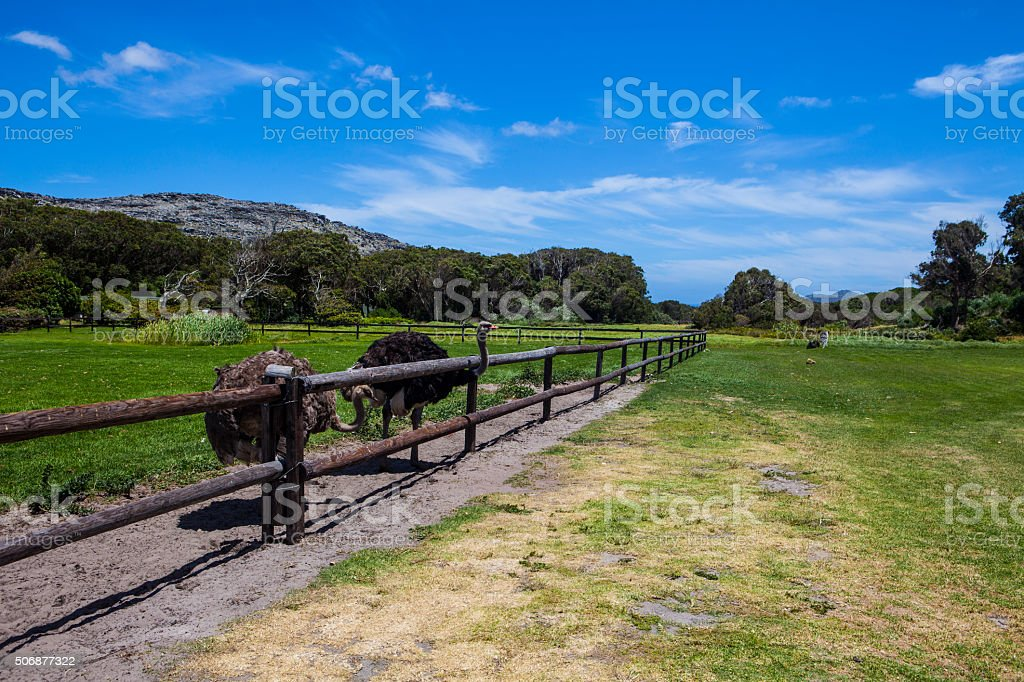 Ostrich farm, Cape Town, South Africa stock photo