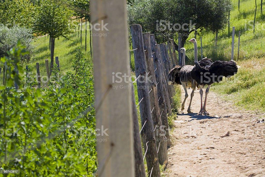 Ostrich farm stock photo