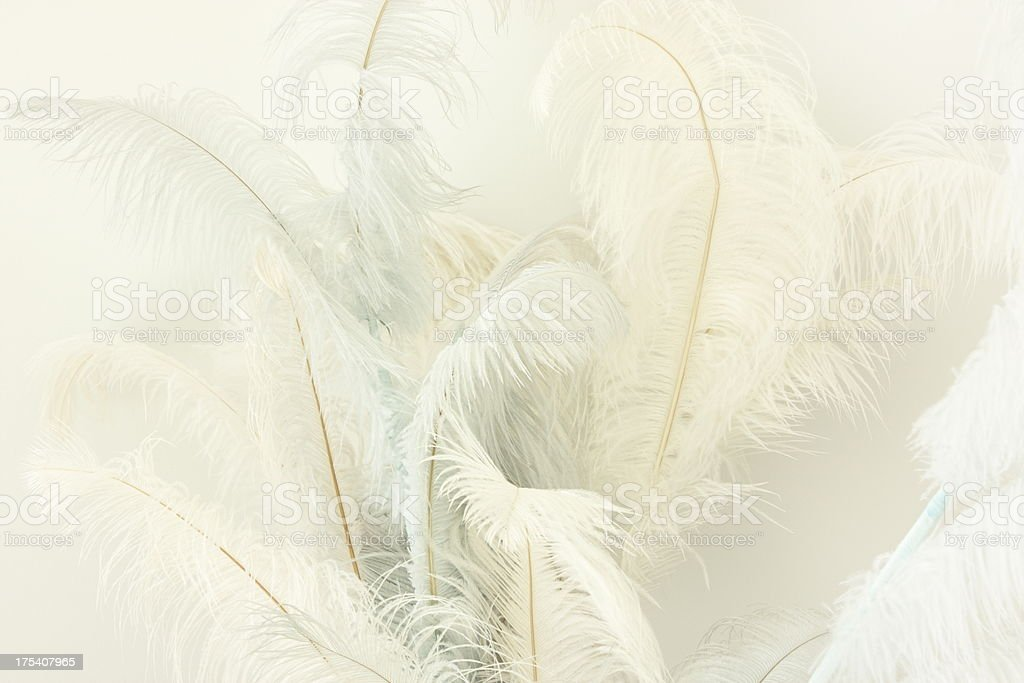 Ostrich Feather Plumes Struthio camelus stock photo