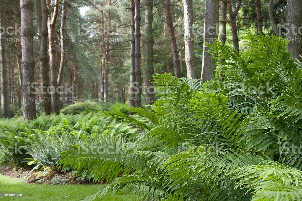 Ostrich fern in Ohio woodland. stock photo