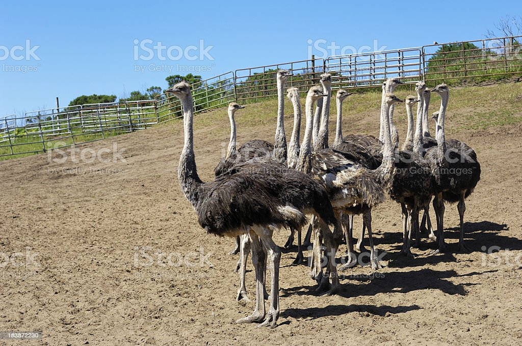 Ostrich Flock in Ranch Pen royalty-free stock photo