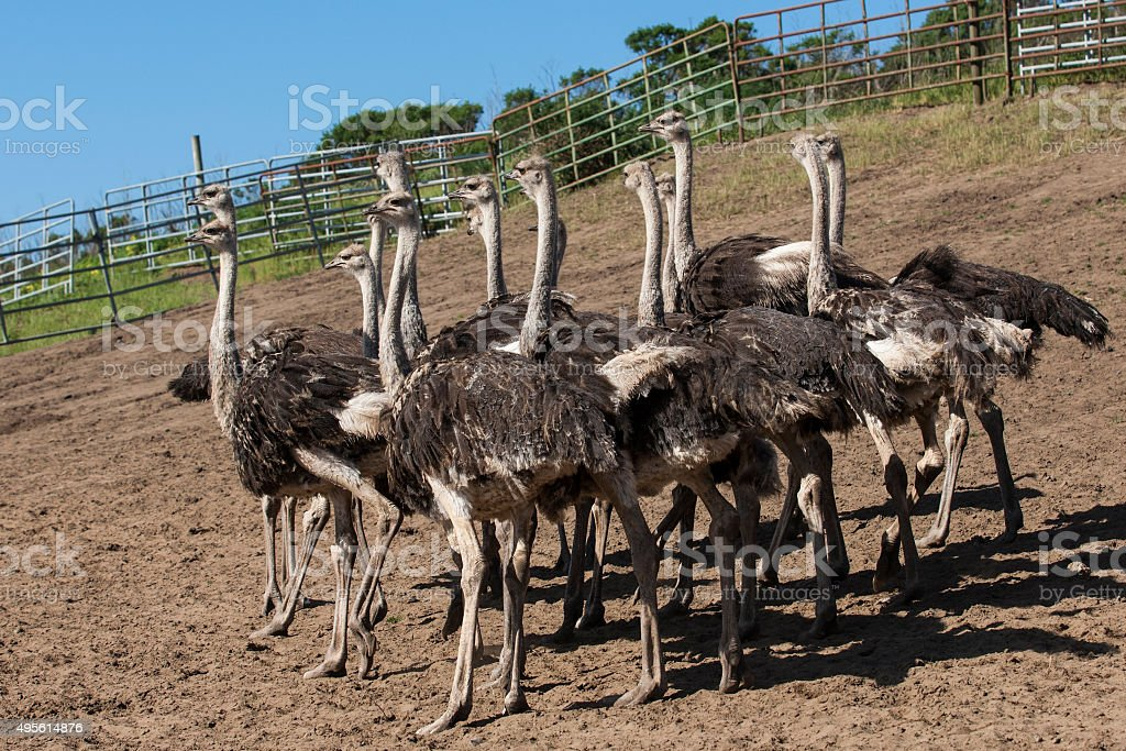 Ostrich Flock in Ranch Pen stock photo