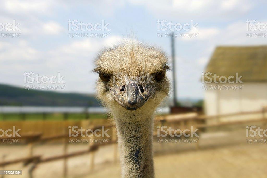 Ostrich glance stock photo