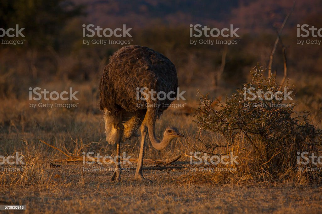 Ostrich grazing in the bush stock photo