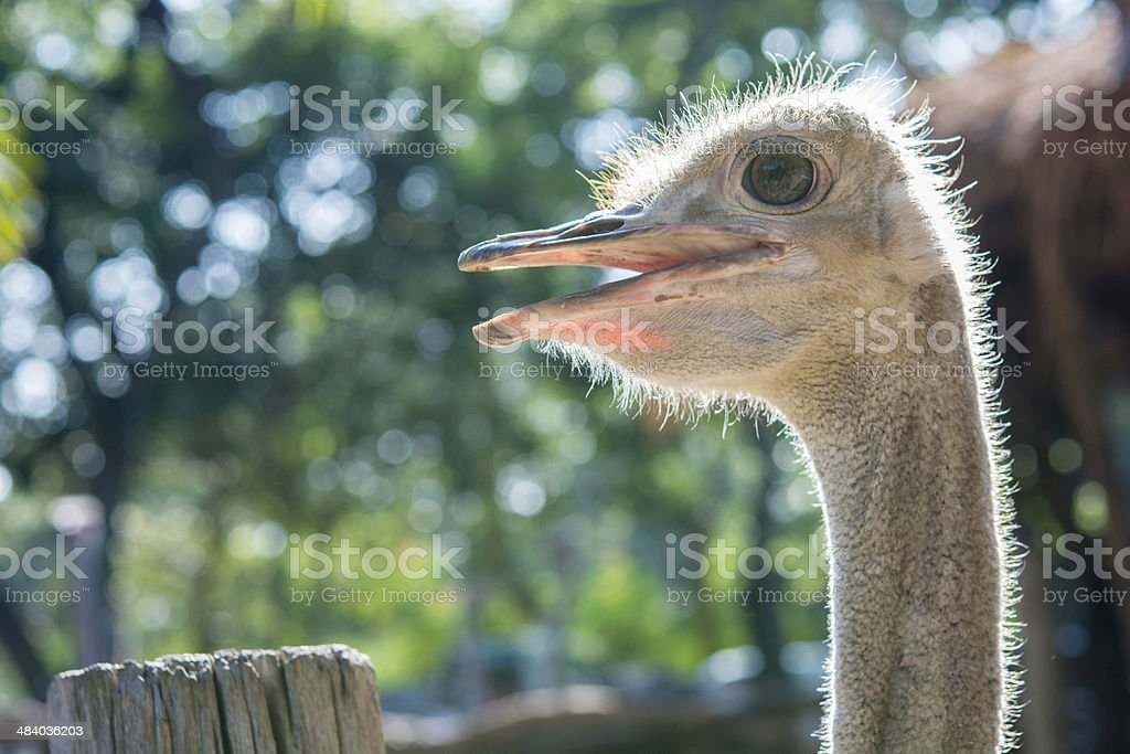 Ostrich head close up royalty-free stock photo