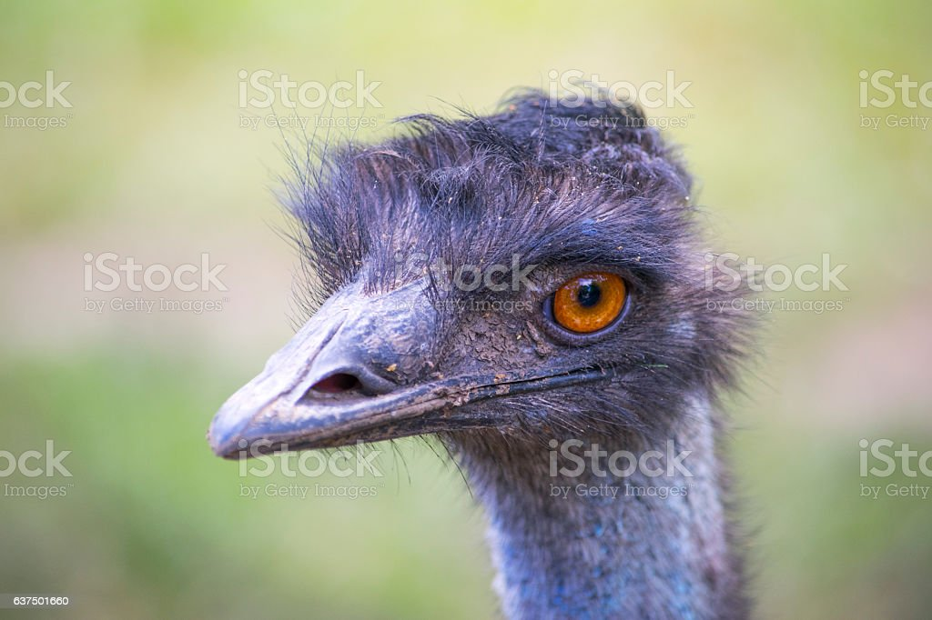 Ostrich head close-up. An animal stock photo