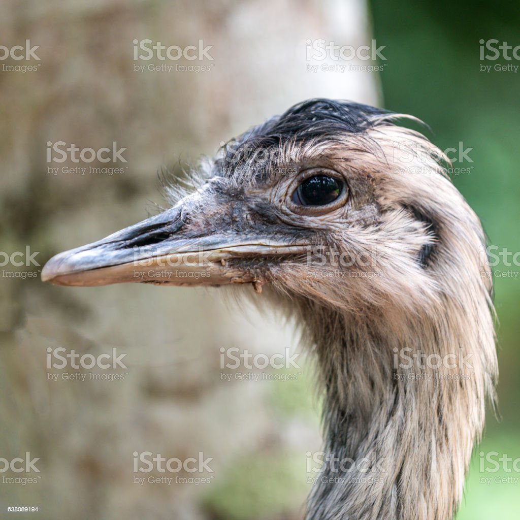 Ostrich head close-up image stock photo