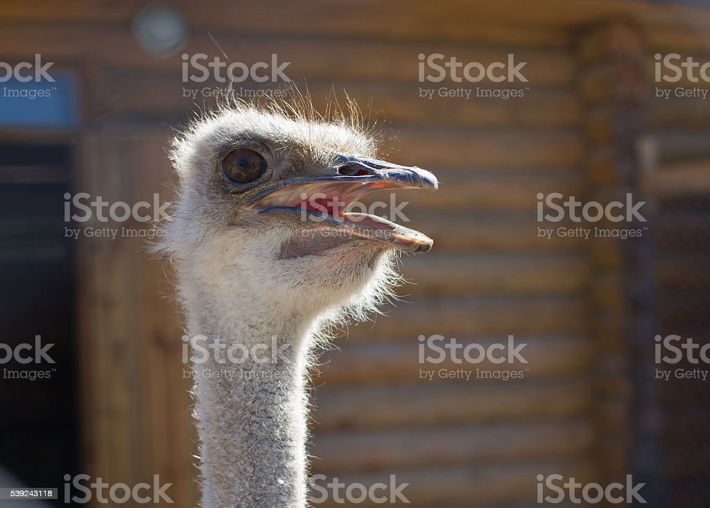 Ostrich head closeup stock photo