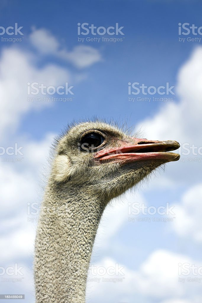Ostrich head in the clouds royalty-free stock photo