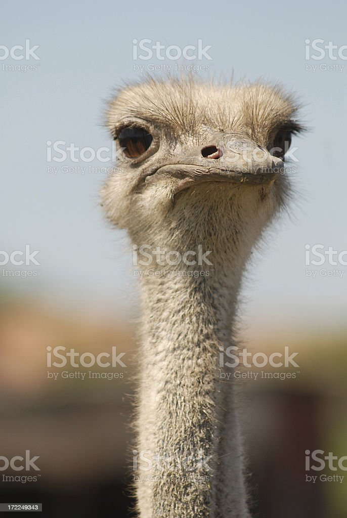 ostrich, head of the bird royalty-free stock photo
