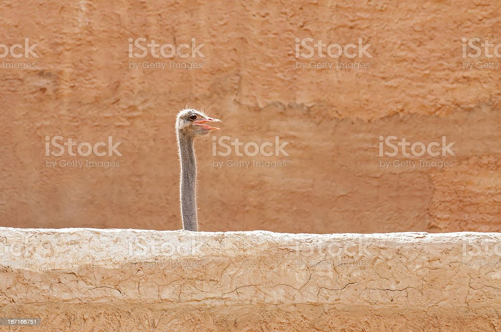 Ostrich head royalty-free stock photo