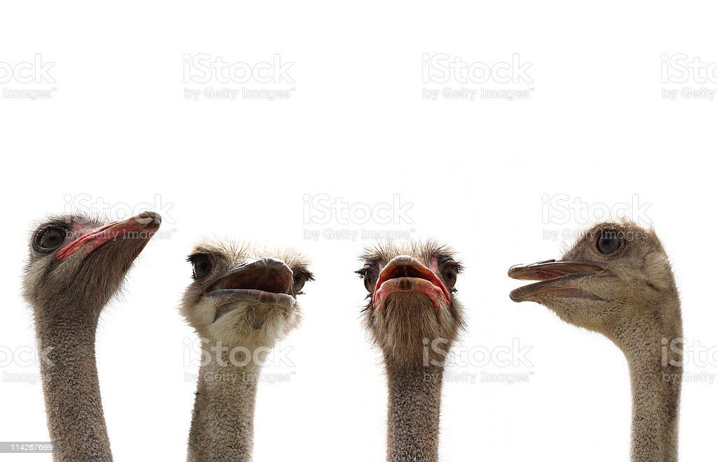 ostrich heads royalty-free stock photo