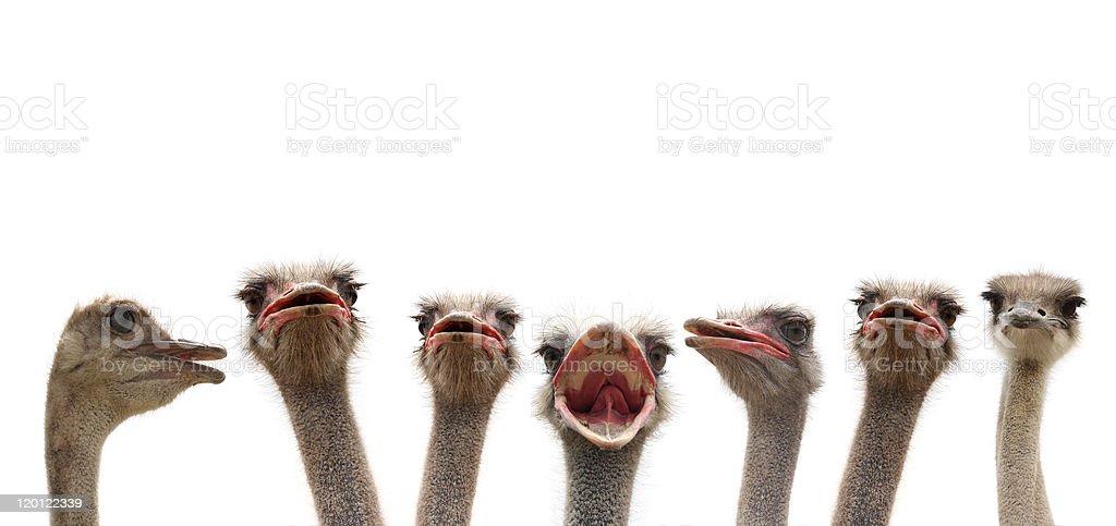 ostrich heads stock photo