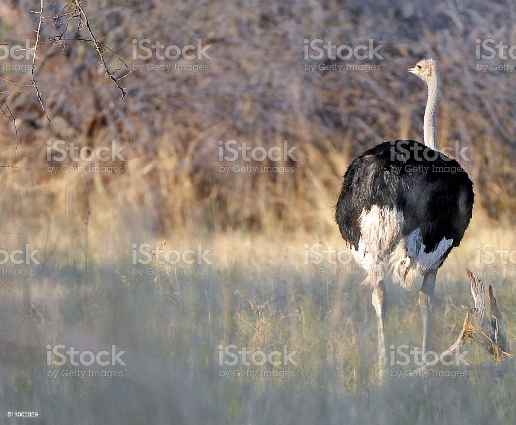 Ostrich, Hwange stock photo