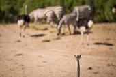 Ostrich in a national park.