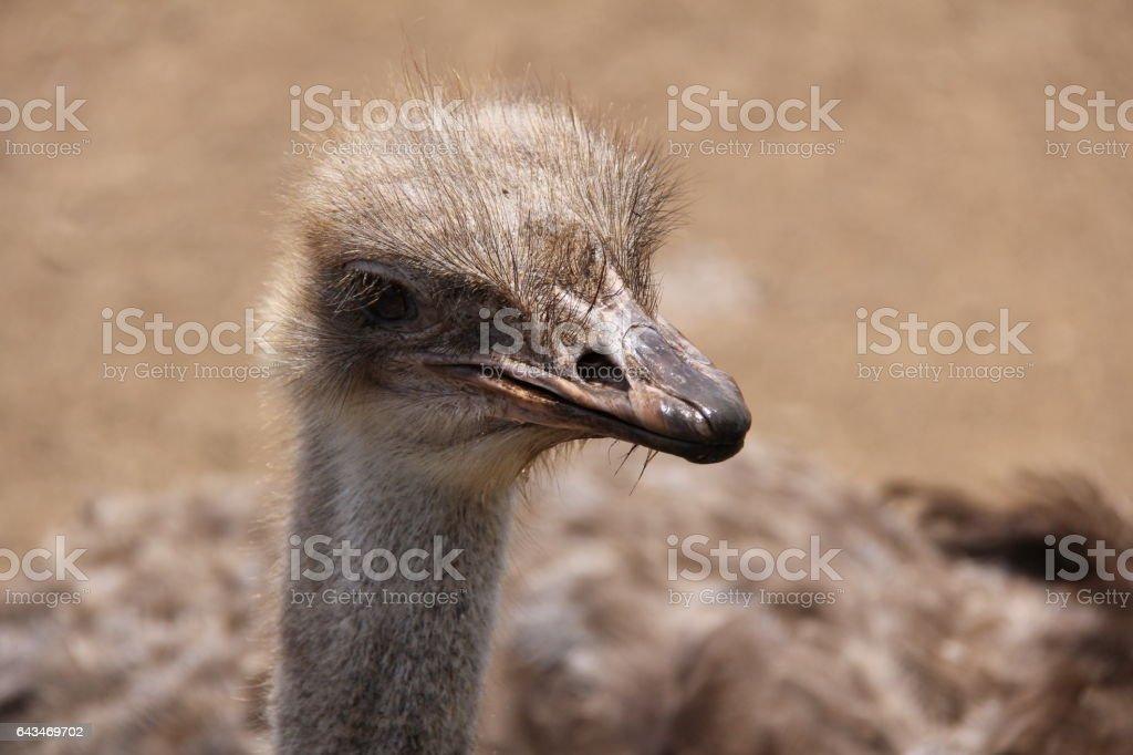 Ostrich in Curaçao stock photo