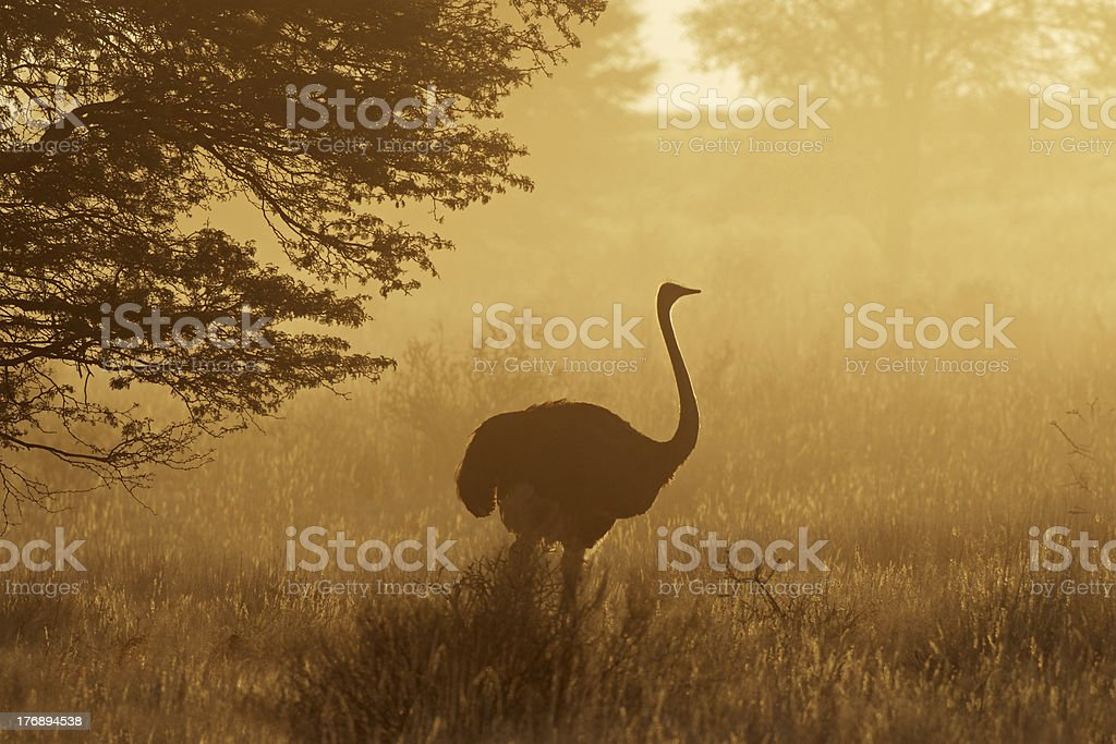 Ostrich in dust royalty-free stock photo
