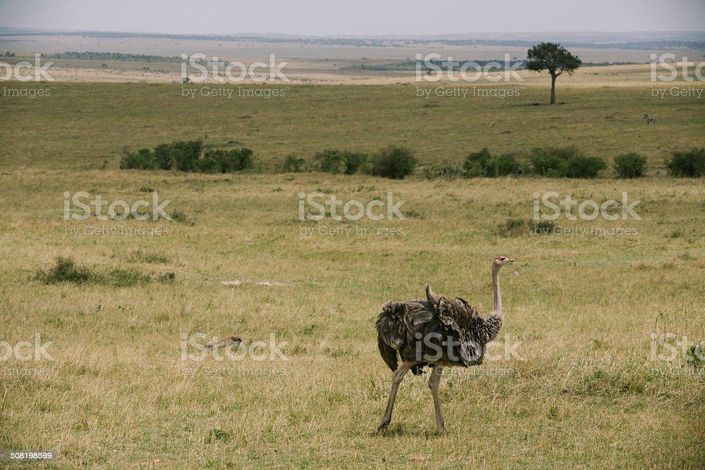 Avestruz en Kenia foto de stock libre de derechos