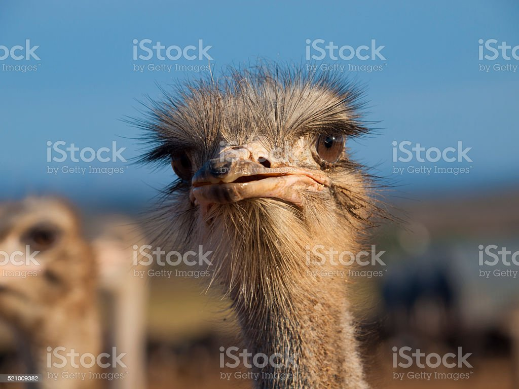 Ostrich in Oudtshoorn, South Africa stock photo