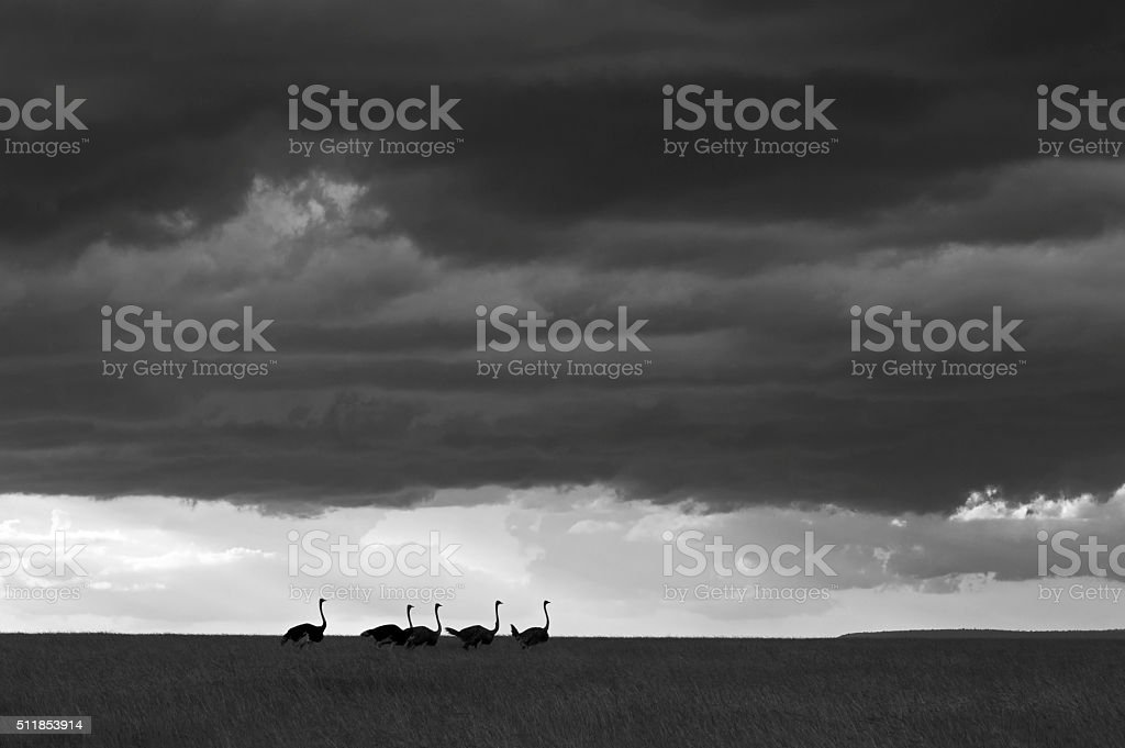 Ostrich in savannah stock photo