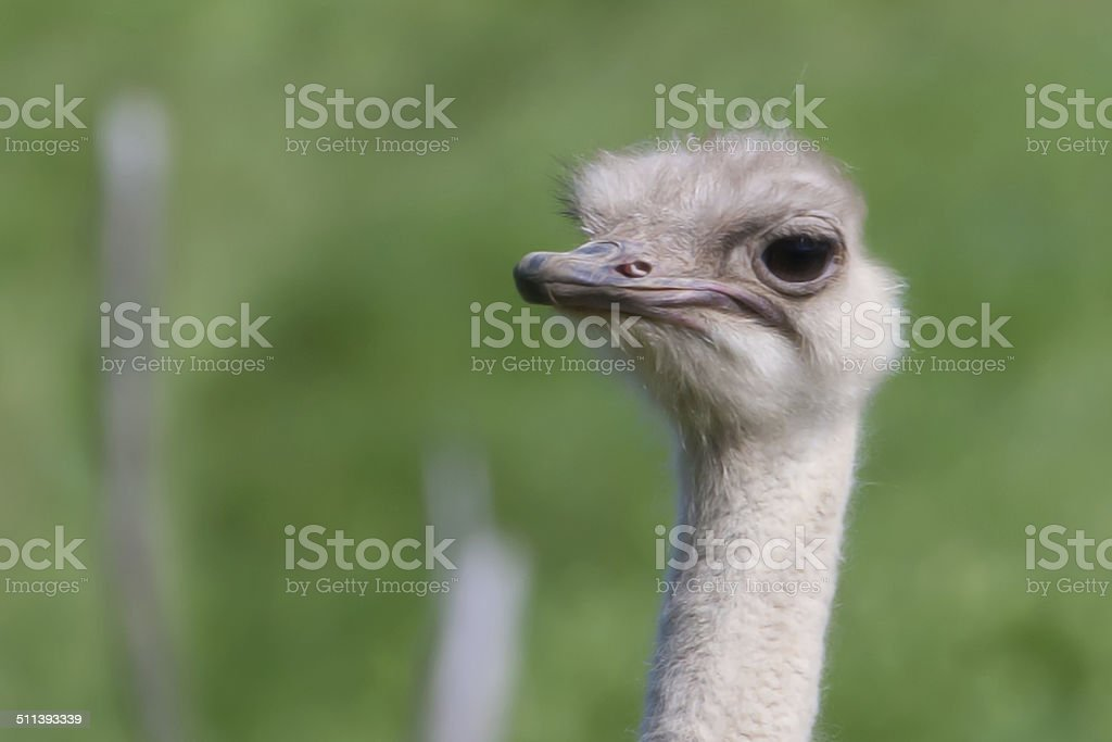 ostrich in soft focus stock photo