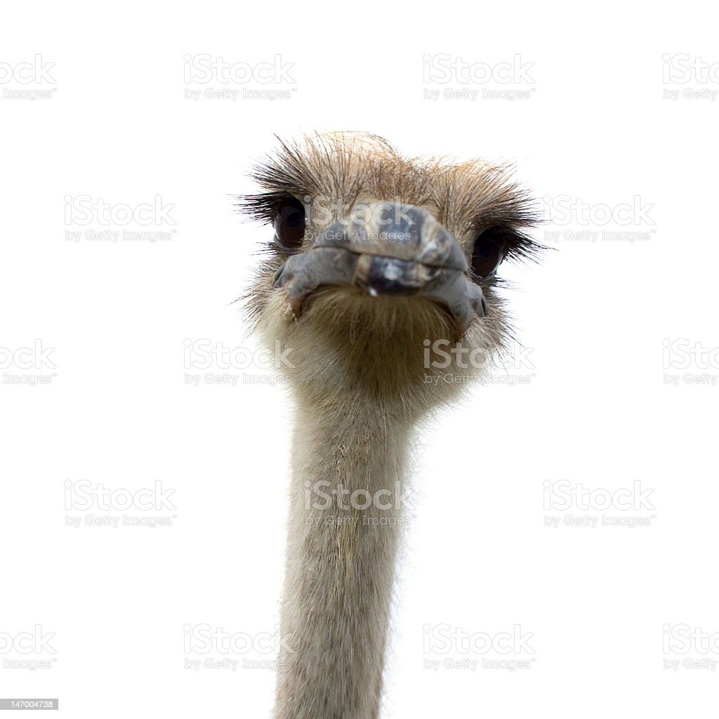 ostrich isolated on white background royalty-free stock photo