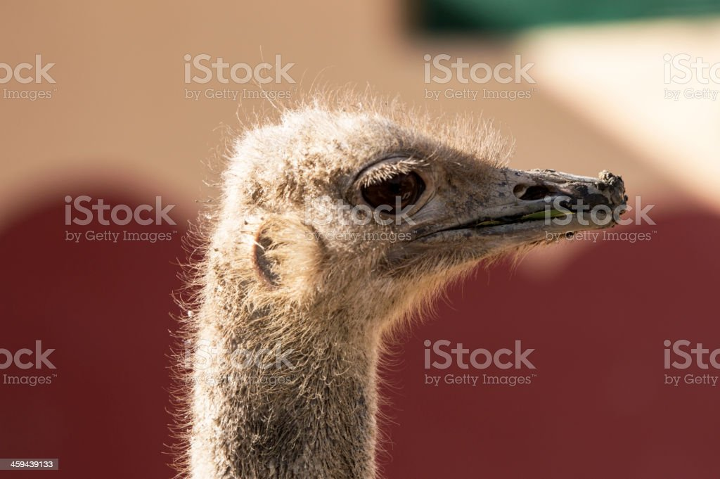 Ostrich Look stock photo