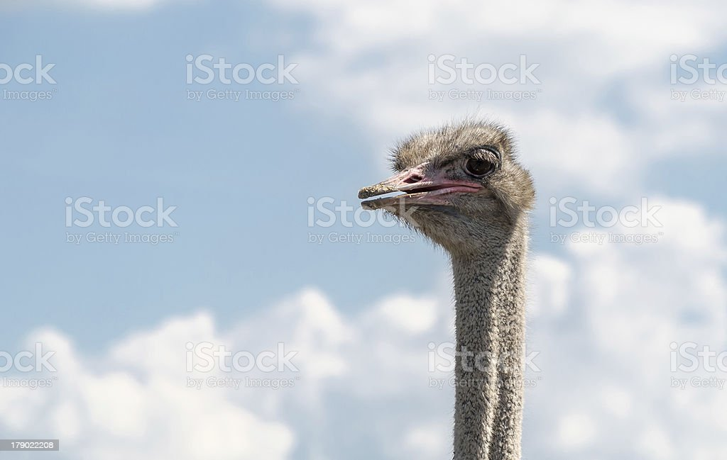 Ostrich male head royalty-free stock photo