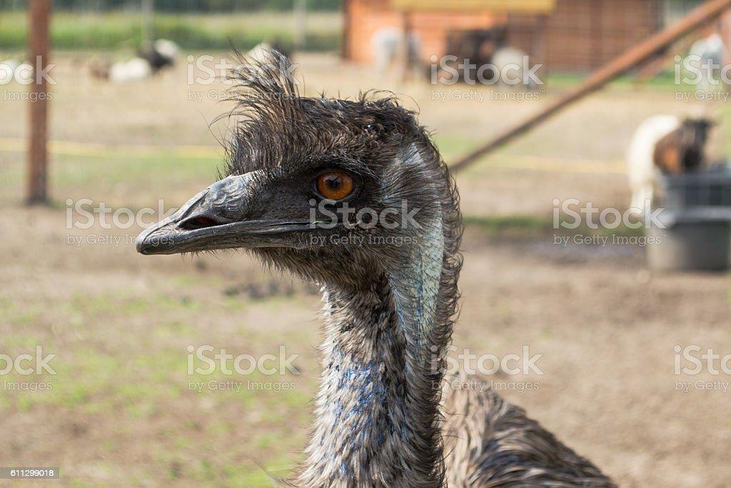 Ostrich Nandu - South America stock photo