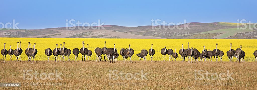 Ostrich panoramic royalty-free stock photo