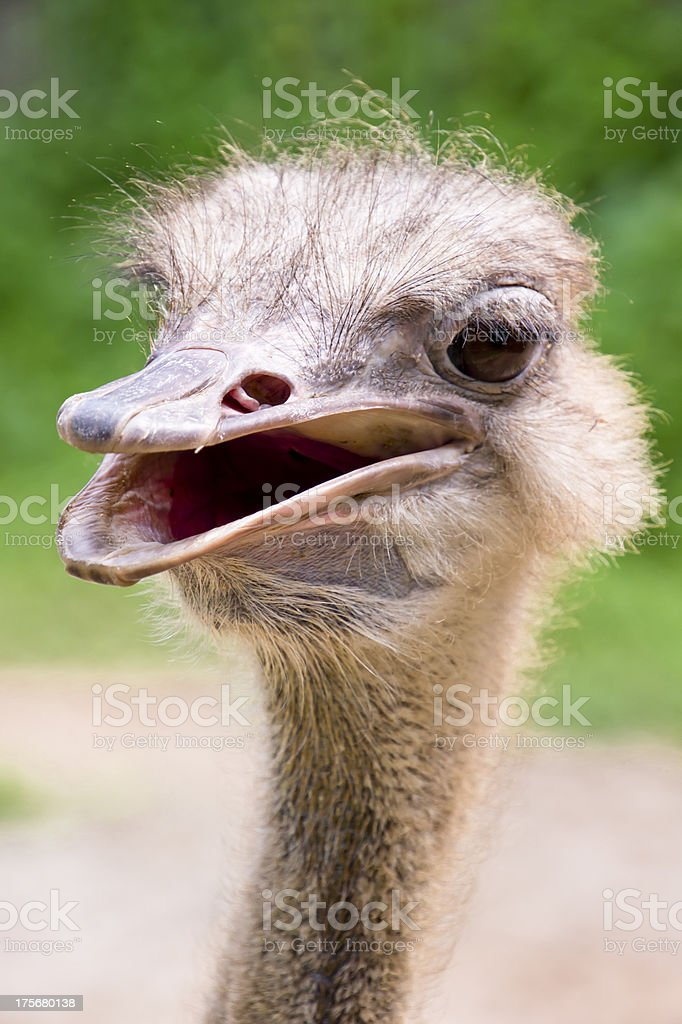 ostrich royalty-free stock photo