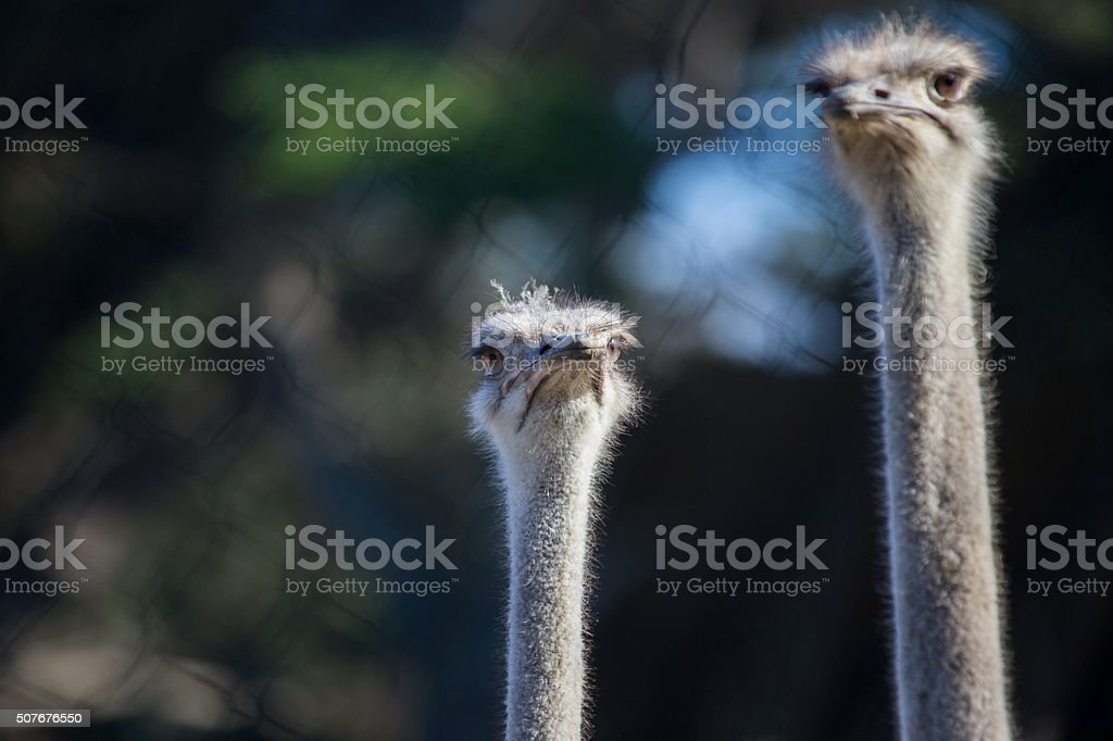 Ostrich (Struthio camelus) stock photo