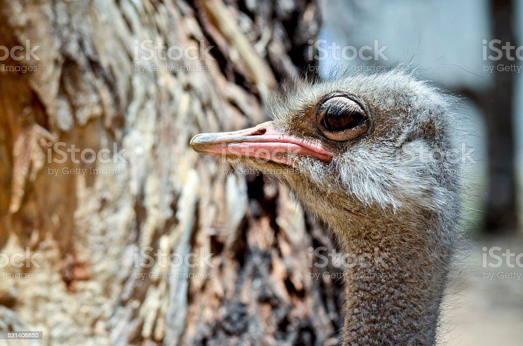 ostrich stock photo