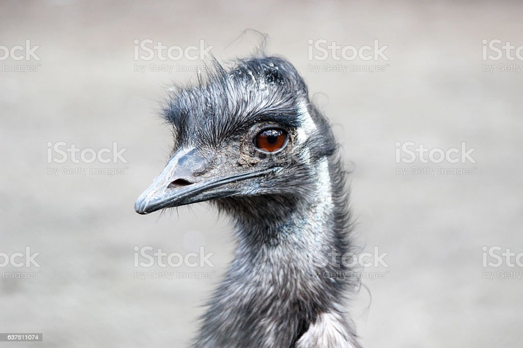 Ostrich (Struthio camelus) stock photo