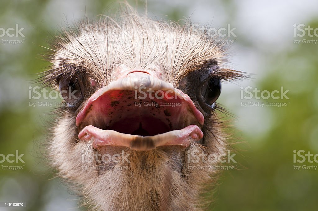 ostrich portrait close up royalty-free stock photo