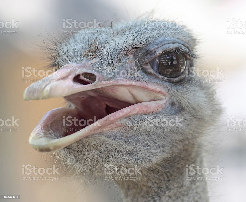 ostrich portrait in the farm, close up, background royalty-free stock photo