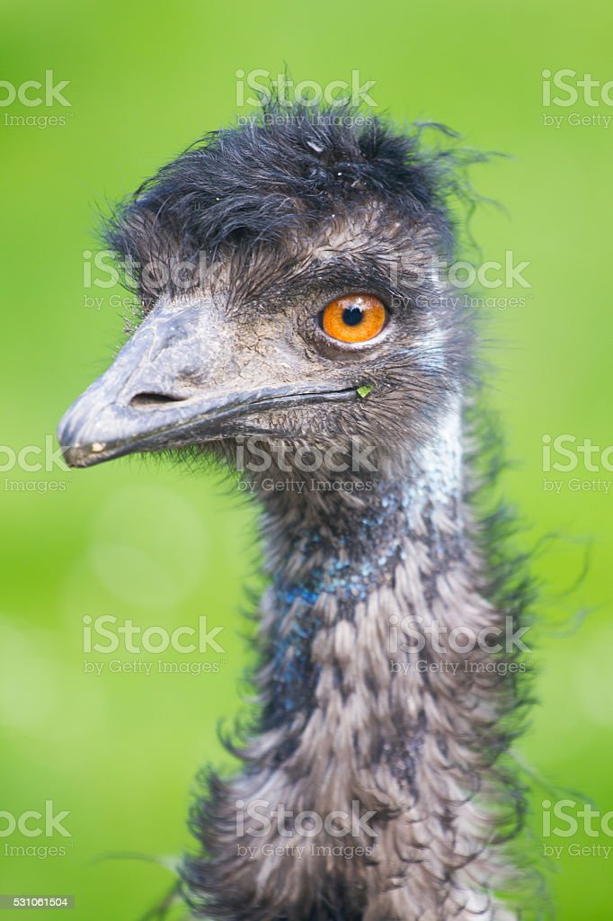 Ostrich portrait stock photo