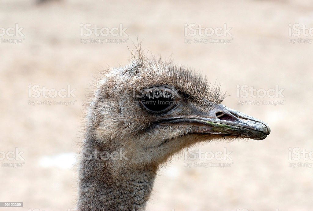 ostrich portrait royalty-free stock photo