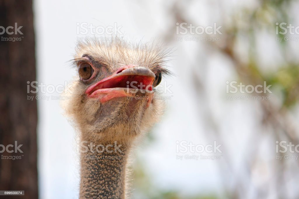 Ostrich portrait viewed from below stock photo