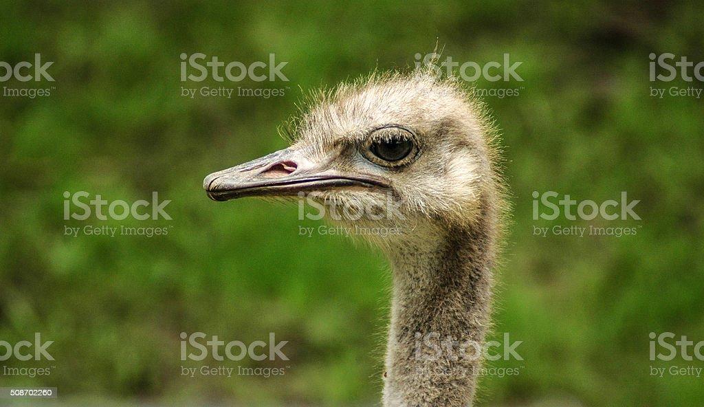 Ostrich profile stock photo