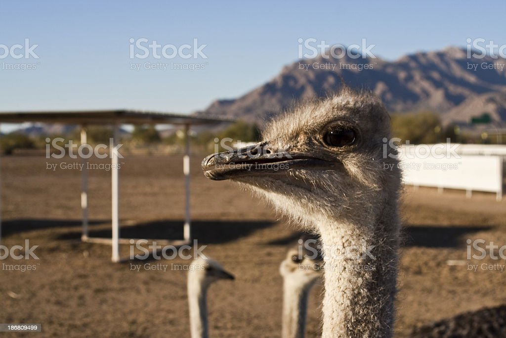 Ostrich Ranch stock photo