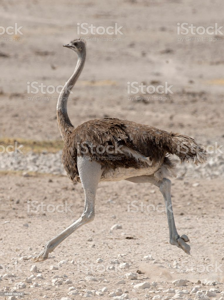 Ostrich running on rocky field royalty-free stock photo