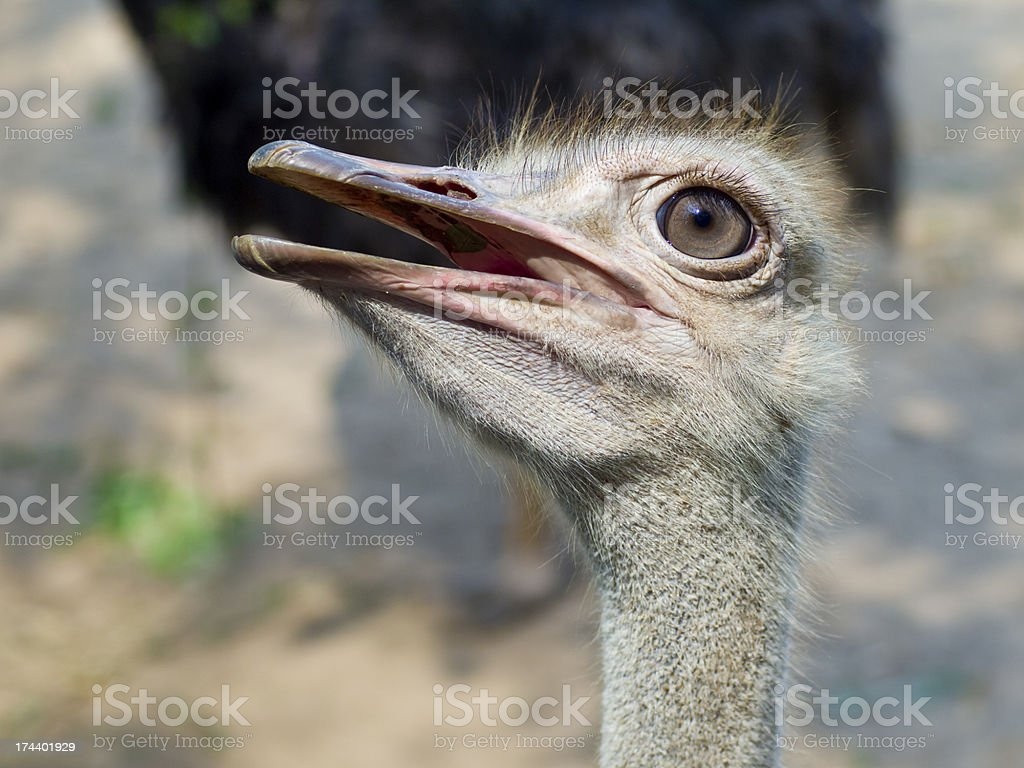 Ostrich standing i royalty-free stock photo