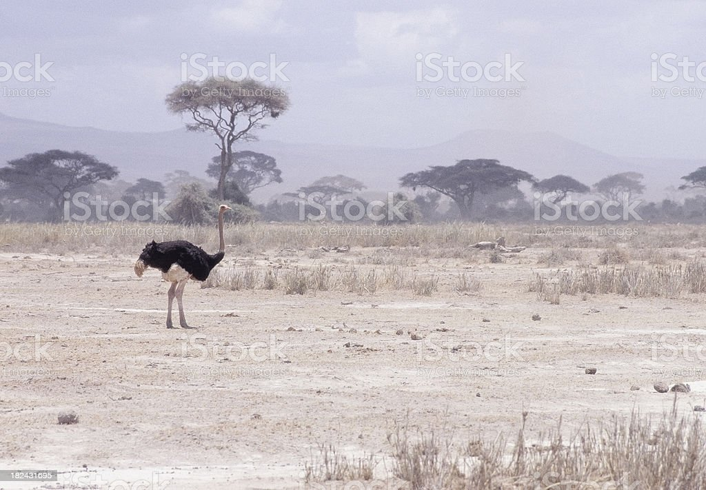 Ostrich stands on dry dusty african plains in sandstorm royalty-free stock photo