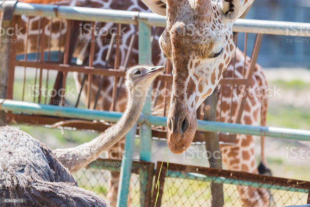 Ostrich talking something to Giraffe. cute animal. stock photo