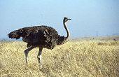 Ostrich walking savanna landscape Nairobi National Park Kenya East Africa