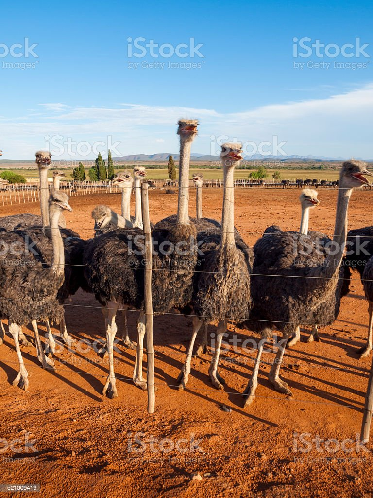 Ostriches in Oudtshoorn, South Africa stock photo
